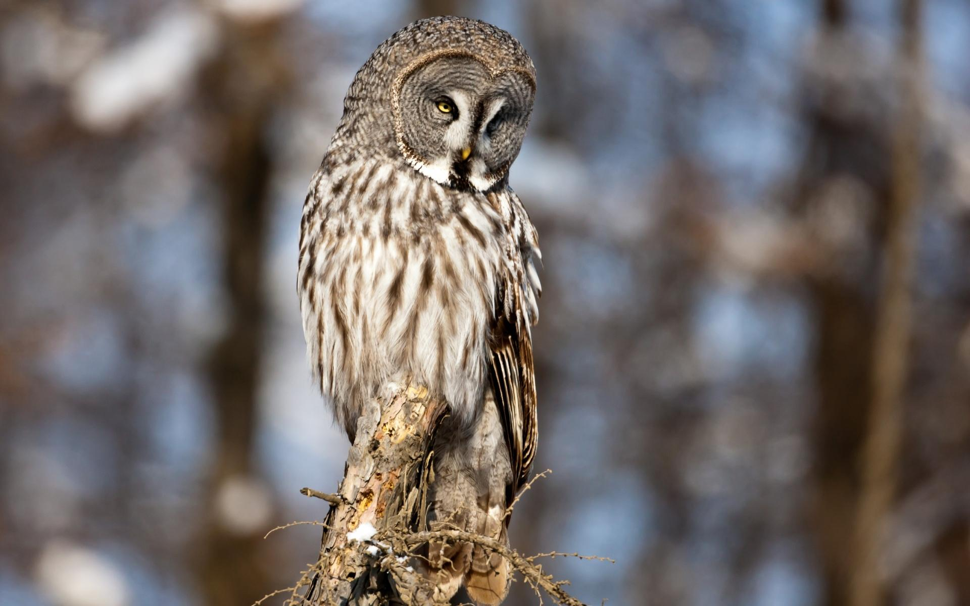 Great Grey Owl Wallpaper HD Download