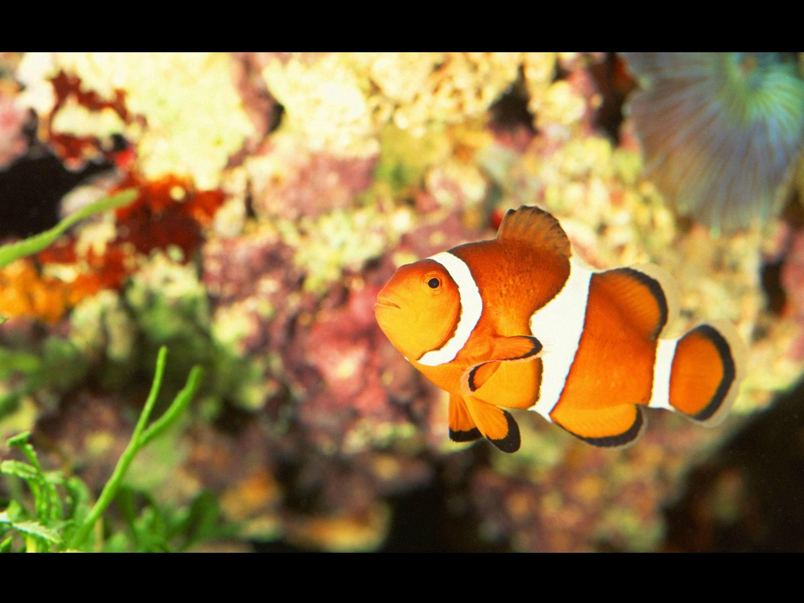 Clownfish Wallpaper HD Download