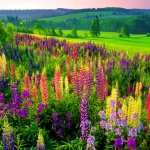 Lupine free wallpapers