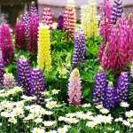 Lupine images