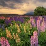 Lupine pic