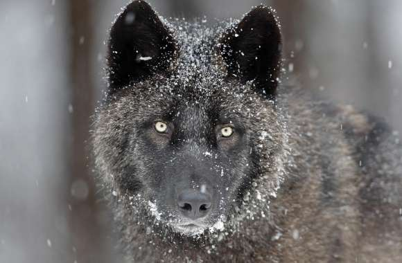 Black Wolf wallpapers hd quality