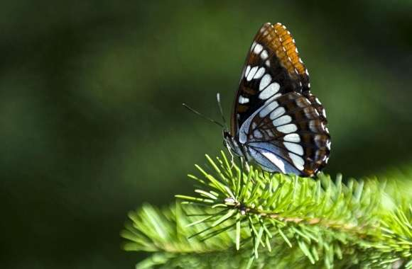Butterfly On Fir Branch