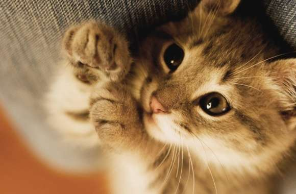 Cute Lazy Kitten wallpapers hd quality