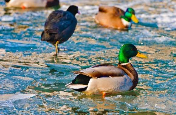 Ducks On Frozen Water
