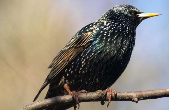 European Starling wallpapers hd quality