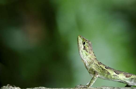 Green Lizard wallpapers hd quality