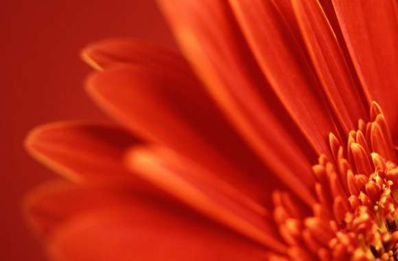 Red Gerbera wallpapers hd quality