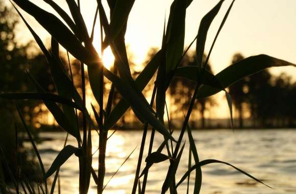 Reed, Sunset