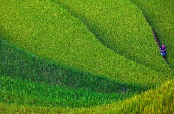 Rice Terrace wallpapers hd quality