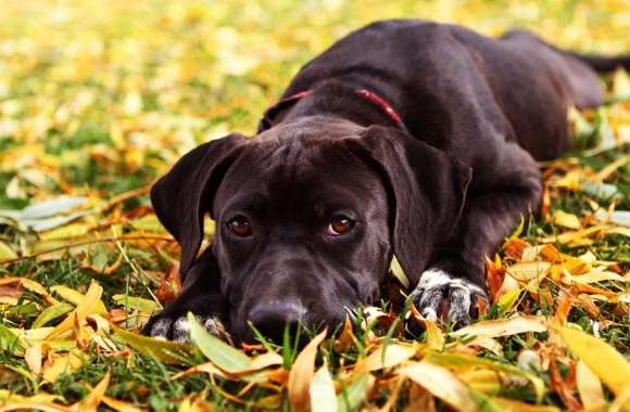 Sad Black Dog Autumn