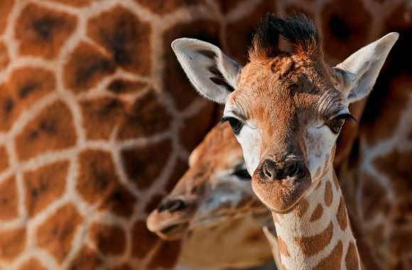 Young Giraffe wallpapers hd quality