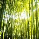Bamboo download wallpaper