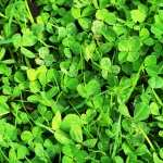Clover images