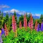 Lupine download wallpaper