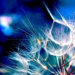 Dandelion wallpapers for android