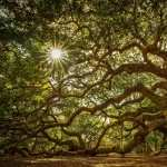 Angel Oak Tree PC wallpapers