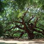 Angel Oak Tree high definition wallpapers