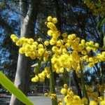 Golden Wattle free wallpapers
