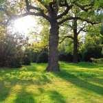 Oak Tree 2017