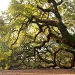 Angel Oak Tree download wallpaper