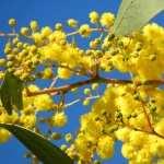 Golden Wattle wallpaper