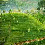 Tea Plantation new photos