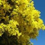 Golden Wattle image