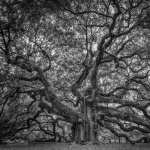 Angel Oak Tree free download