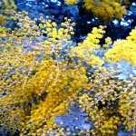 Golden Wattle widescreen
