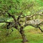 Oak Tree new wallpapers