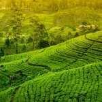 Tea Plantation pics