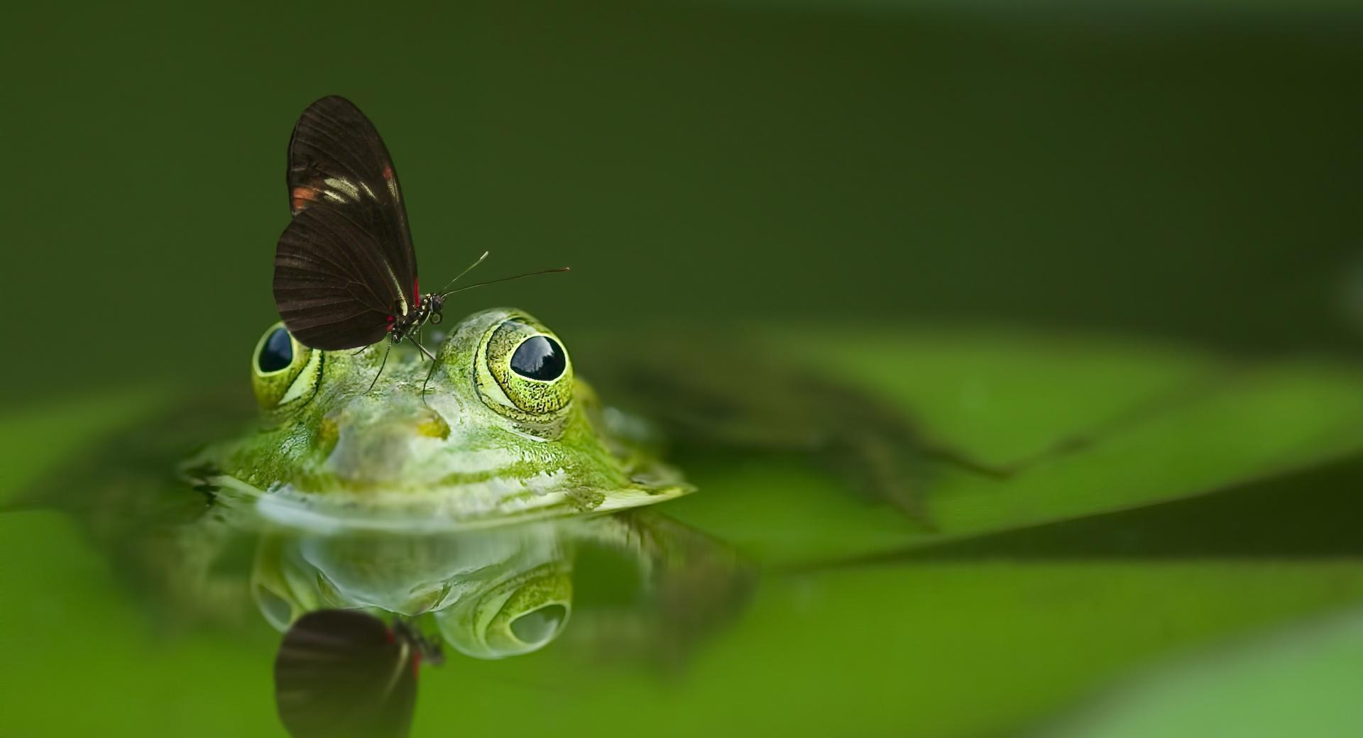 Butterfly on a Frog wallpapers HD quality