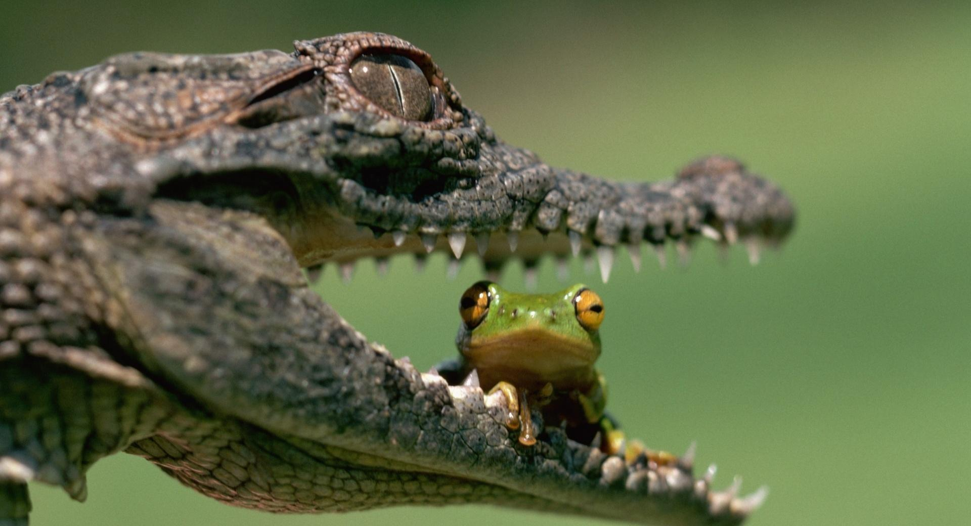 Crocodile Eating Frog at 320 x 480 iPhone size wallpapers HD quality