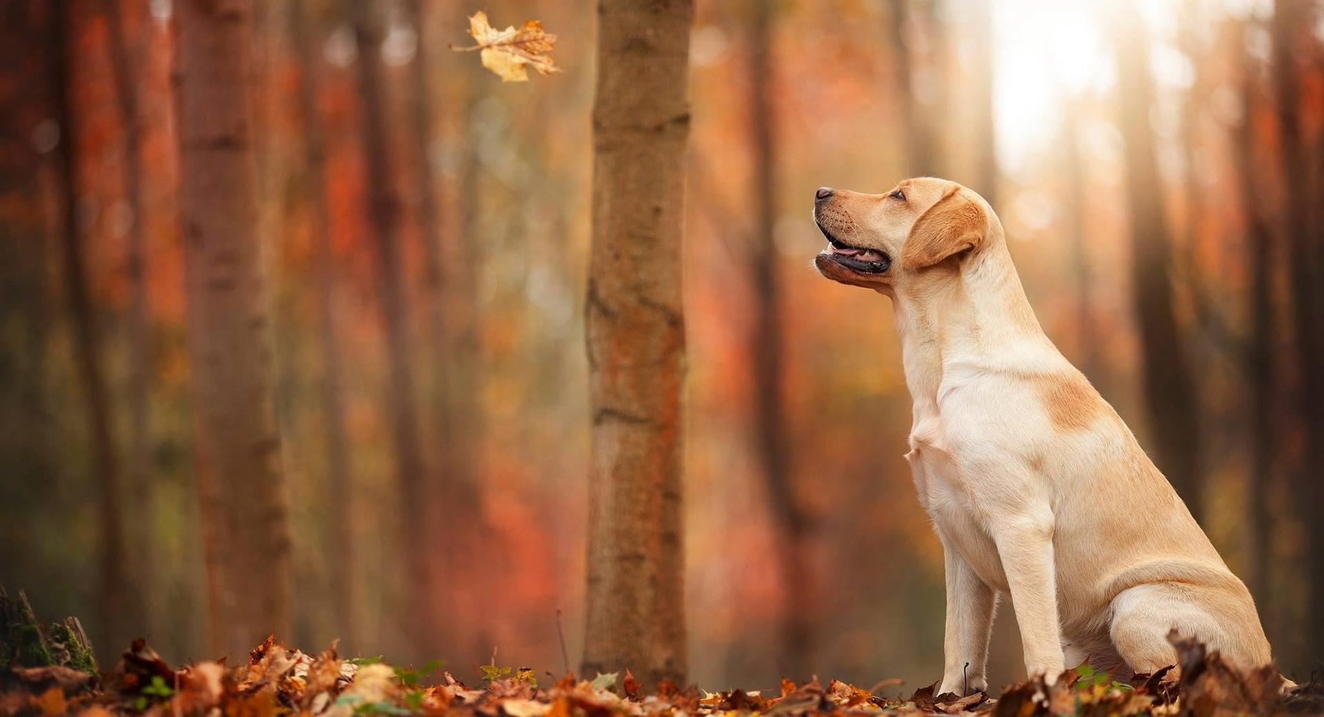 Dog Autumn wallpapers HD quality