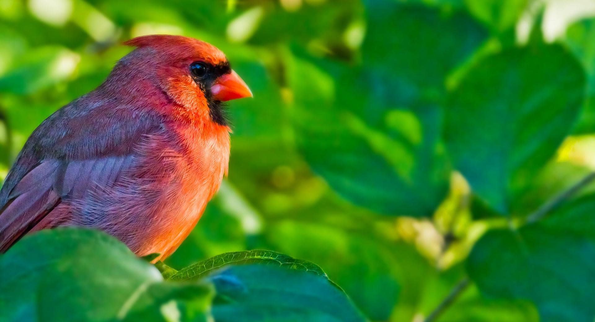 Male Northern Cardinal wallpapers HD quality