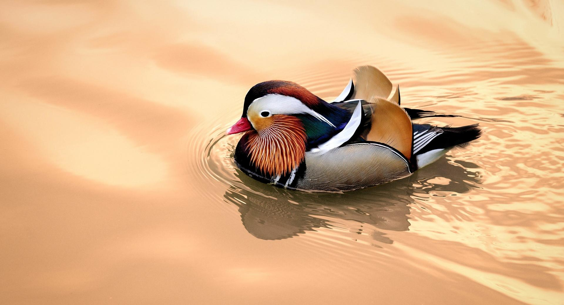 Mandarin Duck Male at 320 x 480 iPhone size wallpapers HD quality