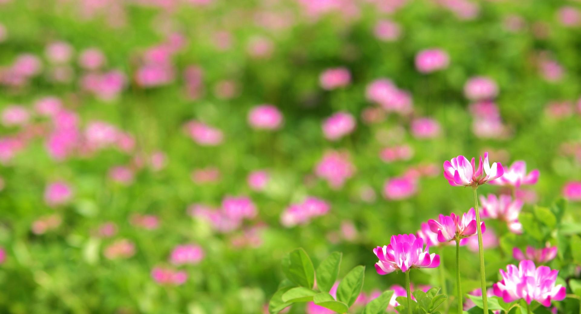 Pink Flowers Photo wallpapers HD quality