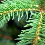 Pine Tree pic