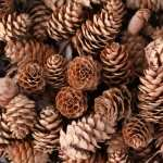 Pine Cone high definition wallpapers