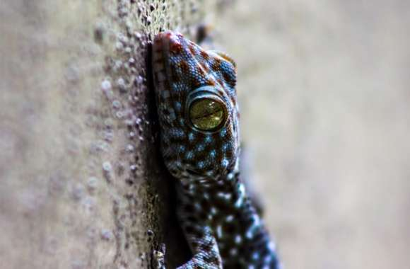 Gecko Thailand wallpapers hd quality