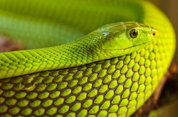 Green Snake Macro wallpapers hd quality