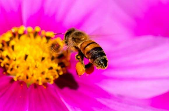 Hard-working Bee wallpapers hd quality
