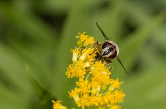 Hoverfly at Flower - Schwebfliege auf Blume wallpapers hd quality