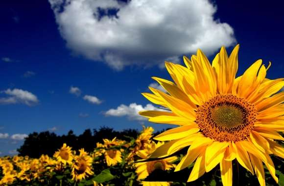 Impressive Sunflower