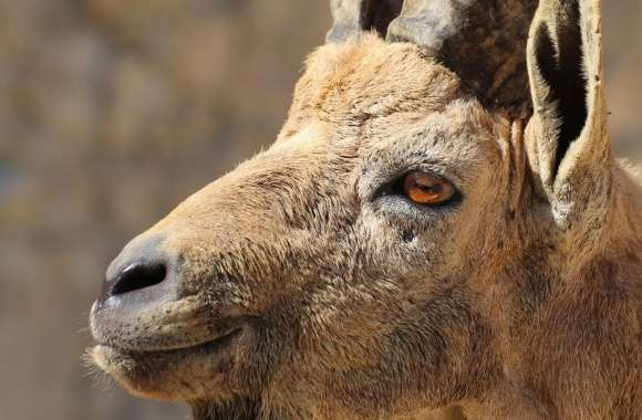 Nubian Ibex Portrait wallpapers hd quality