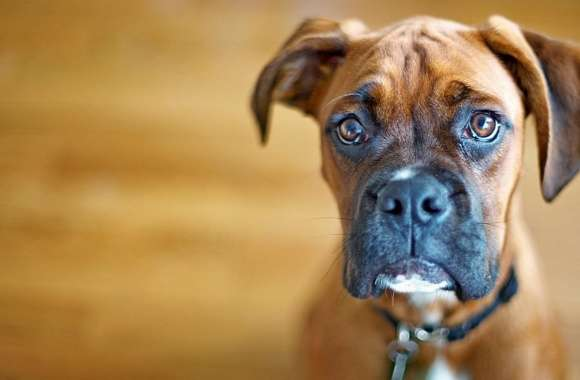Sad Boxer Dog wallpapers hd quality