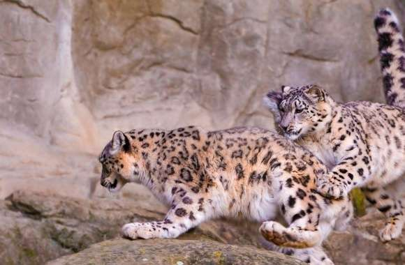 Snow Leopard Jumping wallpapers hd quality