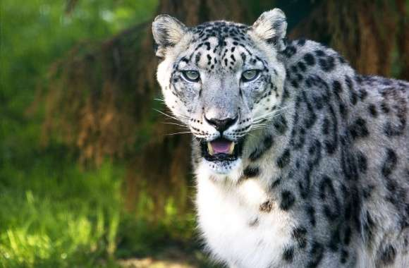 Snow Leopard Wild Animal