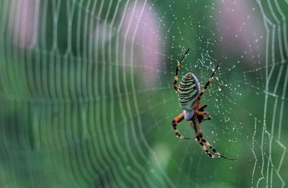 Spider With Colorful Stripes